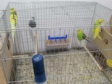 مرغ عشق مولد و 4 ماهه در شیپور