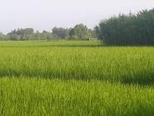 زمین شالیزار (بیجار) باغ کیوی 4000مت در شیپور