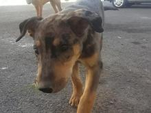 توله سگ 2ماهه بومی واکسن نخورده سر حال در شیپور