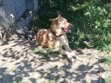 سگ گرگی درشت گمشده در شیپور